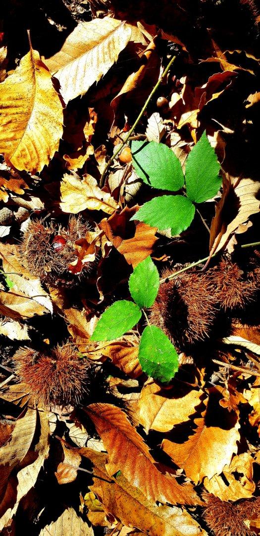 Chestnuts Fontainbleau